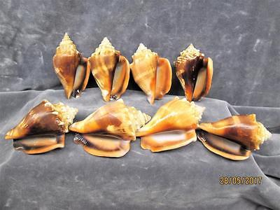 8 Beautiful Brown Florida 3 Inch Fighting Conch Shells  Cleaned And Polished