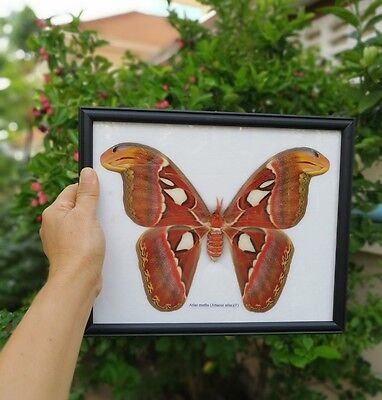 Atlas Real Attacus Moth Female Big Butterfly Display Framed In Insect Taxidermy