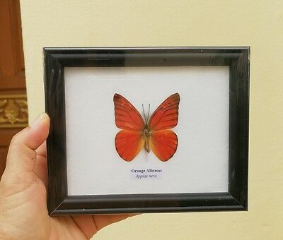 Real Butterfly Framed Display Taxidermy Insect In Frame Glass Mounted Decor # 3