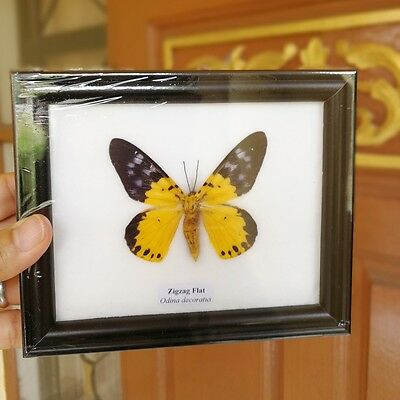 Real Butterfly Framed Display Taxidermy Insect In Frame Glass Mounted Decor # 4