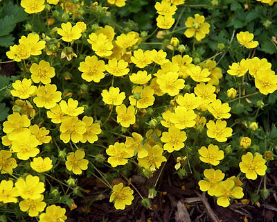One Rooted Division (8-10 Plants) Buttercup Ground Cover Fast Spreading Hardy