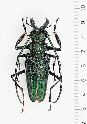 +++ INSEKTEN, KÄFER: PSALIDOGNATHUS SUPERBUS male GREEN / VIOLET-BLUE ++++++++