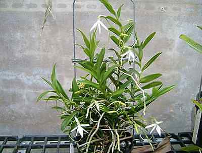 QOB Orchid Plant Rare Species Jumellia confusa - 75mm pot