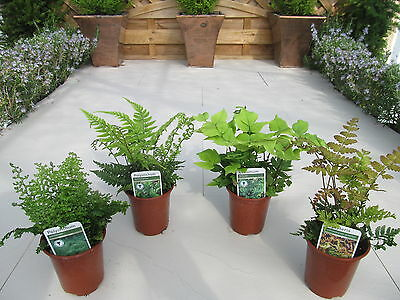 4 Fern Plant Selection~Unusual Potted Ferns~Mixed Varieties Garden Plants~9cm