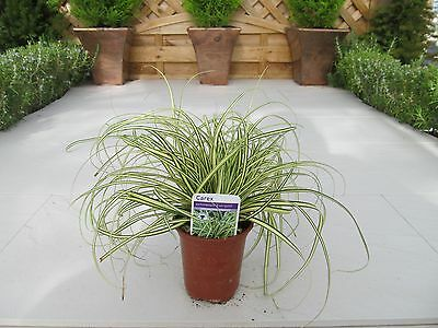 Carex Evergold Variegated Japanese Sedge~Evergreen Grasses Hardy Grass Plants