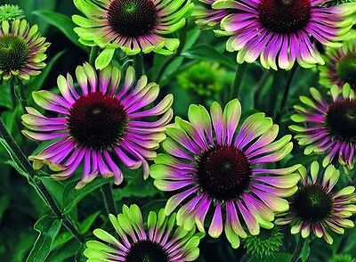Echinacea purpurea 'Green Twister' x 10 seeds