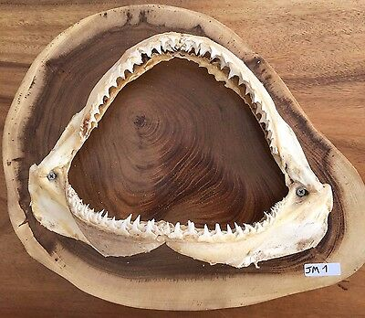 Solid Timber Mount With Growth Rings Blacktip Shark Jaw Taxidermy Trophy Nicejm1