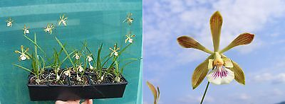 Encyclia tampensis (hybride), Orchidée, Orchid,