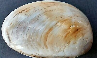 Beautiful, Large Authentic CLAM FOSSIL - 100 million years old!