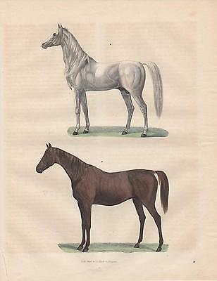 Pferde Araber Englisches Vollblut LITHOGRAPHIE  1842 Arabian Horse Thoroughbred