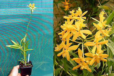 """Epidendrum radicans """"yellow"""", Orchidée, Orchid"""