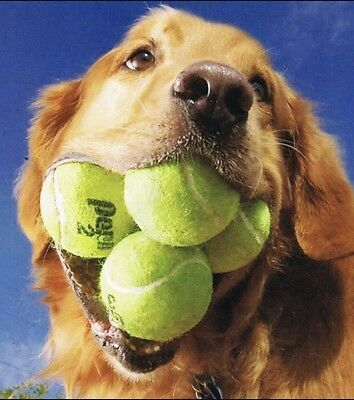 50 Used Hard Court Tennis Balls Dog Toys Fetch Walkers Practice Penn Wilson