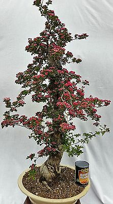 Bonsai tree, Japanese Double Red Flowering Hawthorn
