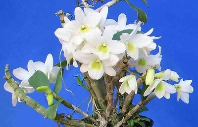 Dendrobium Angel Baby 'Love Pocket' Orchid Plant
