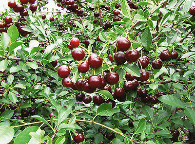 Dwarf Sour Tart Cherry JUILIET 1.5yr old seedling Tree Container Garden V Hardy