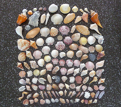 Selection of pretty seashells from southwest Florida beaches (approx 150 shells)