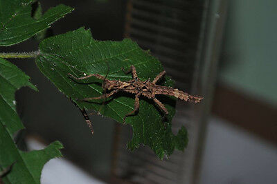 Sabah Thorny Stick Insects, Aretaon asperrimus X 10