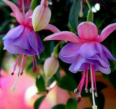 FD1404 Rare! Fuchsia Seeds Fuchsia Lantern Flower Seeds ~10 Seeds~ HOT COOL