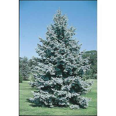 One Ft. Colorado Blue Spruce. Evergreen  Good Strong Roots..cold Hardy