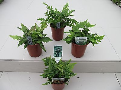 4 EVERGREEN Fern Plant Selection~Unusual Potted Ferns ~ Potted Plants not Plugs