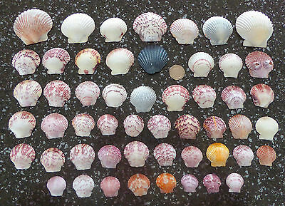 A pretty selection of half Scallop seashells (50 shells)