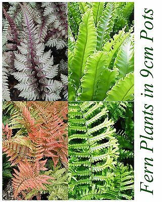 4 Fern Plant Selection~Nearly/Evergreen Varieties of Ferns Tropical Plants 9cm