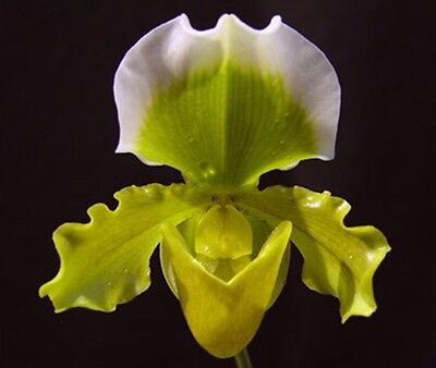 Paphiopedilum Betty Bracey Blooming Size Orchid Plant