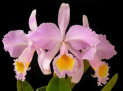Cattleya schroderae Blooming Size Fragrant Orchid Plant