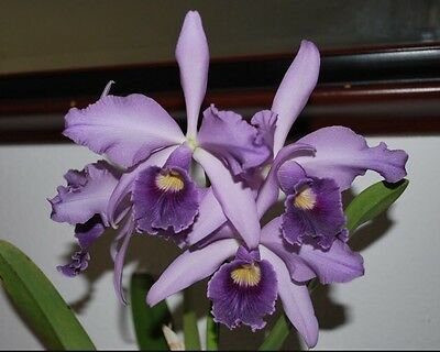 Laeliocattleya Canhamiana 'Azure Skies' Blooming Size Orchid Plant