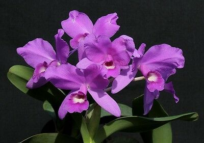 Cattleya skinneri Large Blooming Size Fragrant Orchid Plant