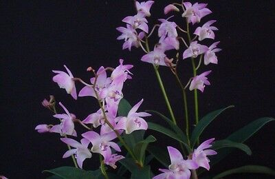 Dendrobium kingianum Large Blooming Size Fragrant Orchid Plant In Spike