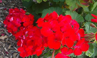 Red Geranium Plant Cutting (from healthy plant) Healthy Geranium cutting