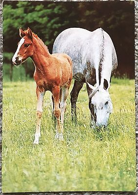 Old Postcard of Grey Horse / Mare & Foal - Italy