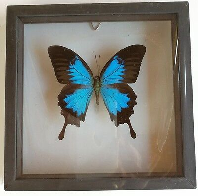 Ulysses Papilio Butterfly Real Blue Framed Glass Taxidermy Insect Emperor Mount