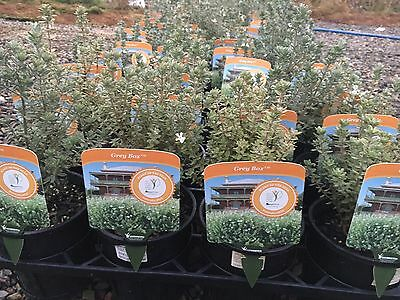 """Westringia  'GREY BOX' -NEW RELEASE, 140mm (6"""") pots  PLANT OF THE YEAR"""
