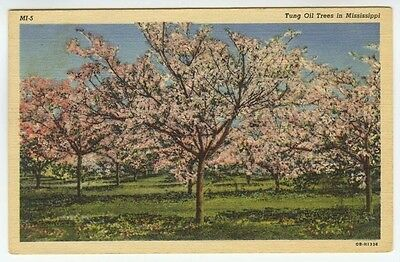 Tung Oil Trees in Mississippi 1940 Linen Postcard