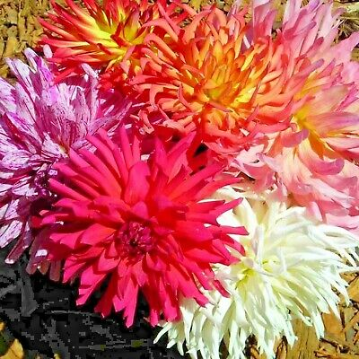 Zinnia Elegans Cactus Flowered Mix 125 Seeds California Drought Heat Tolerant Us
