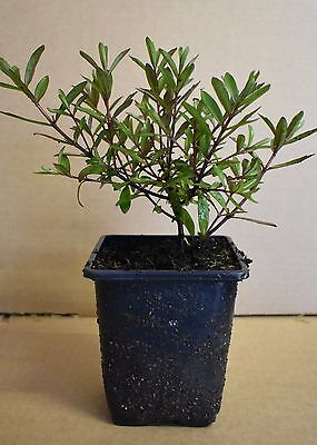 Hebe Mrs Winder evergreen shrub plant in a 9cm pot FREE DELIVERY over £20
