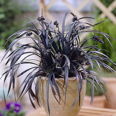 3 Ophiopogon Black Ornamental Grass Plants Evergreen Flowering Grasses~9cm Pots