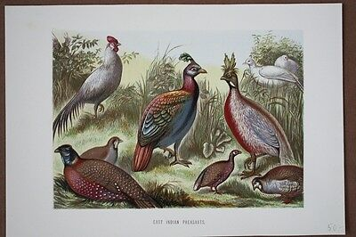 East Indian Pheasants, Fasane, Chromolithographie um 1890 mit mehreren Exemplare