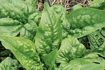 Spinach ENGLISH BLOOMSDALE 100Seeds HEIRLOOM