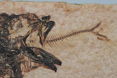 Aspiration Mioplosus Chokes on Dinner Fossil Fish Green River Formation Wyoming