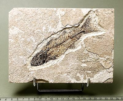 Scarce Mioplosus fossil fish on matrix. Circa 48 m.y.o.  913