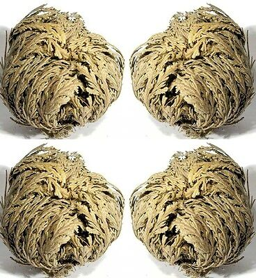 LOT DE 4 ROSAS DE JERICO - Lot x 4 Rose of Jericho  With Instructions
