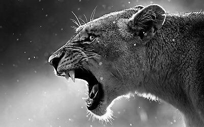Black And White Lioness - Wild Nature Animal Wall Art Canvas Picture 20x30inch