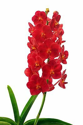 Vandaceous orchid - Ascda. Boonyarit Little Flame