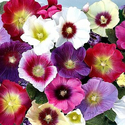 "Hollyhock (Alcea rosea) ""Indian Spring Mix"" x 25 seeds"