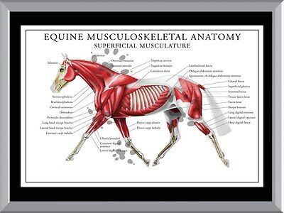 Equine Musculoskeletal Anatomy A1 To A4 Size Poster Prints