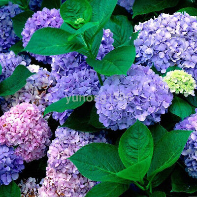 100Pcs Purple Pink Hydrangea Flower Seeds Garden Perennial Bonsai Potted Plant U
