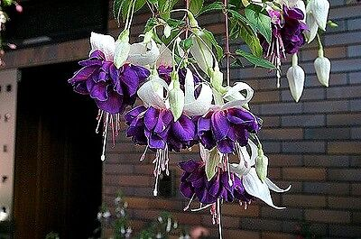 "Fuchsia ""Deep Purple"" x 1 plant"